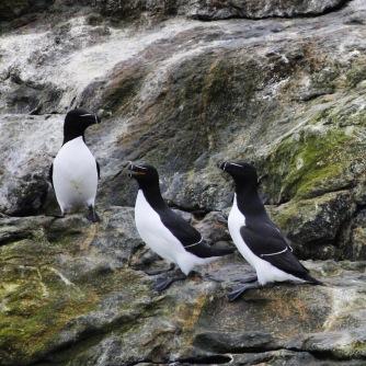 Vogelbeobachtung Honningsvåg, Copyright: insidenorway